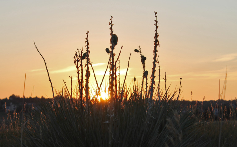 Yucca with Sunrise Behind