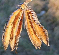Yucca Pod at Sunset Highlands Ranch Open Space