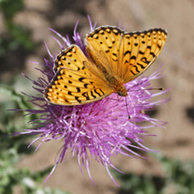 Butterfly landing on Thistle