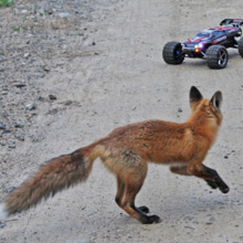 Fox and Toy Car
