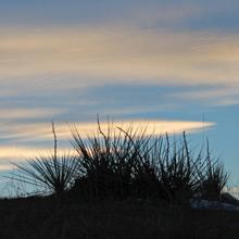 Yucca at Sunset