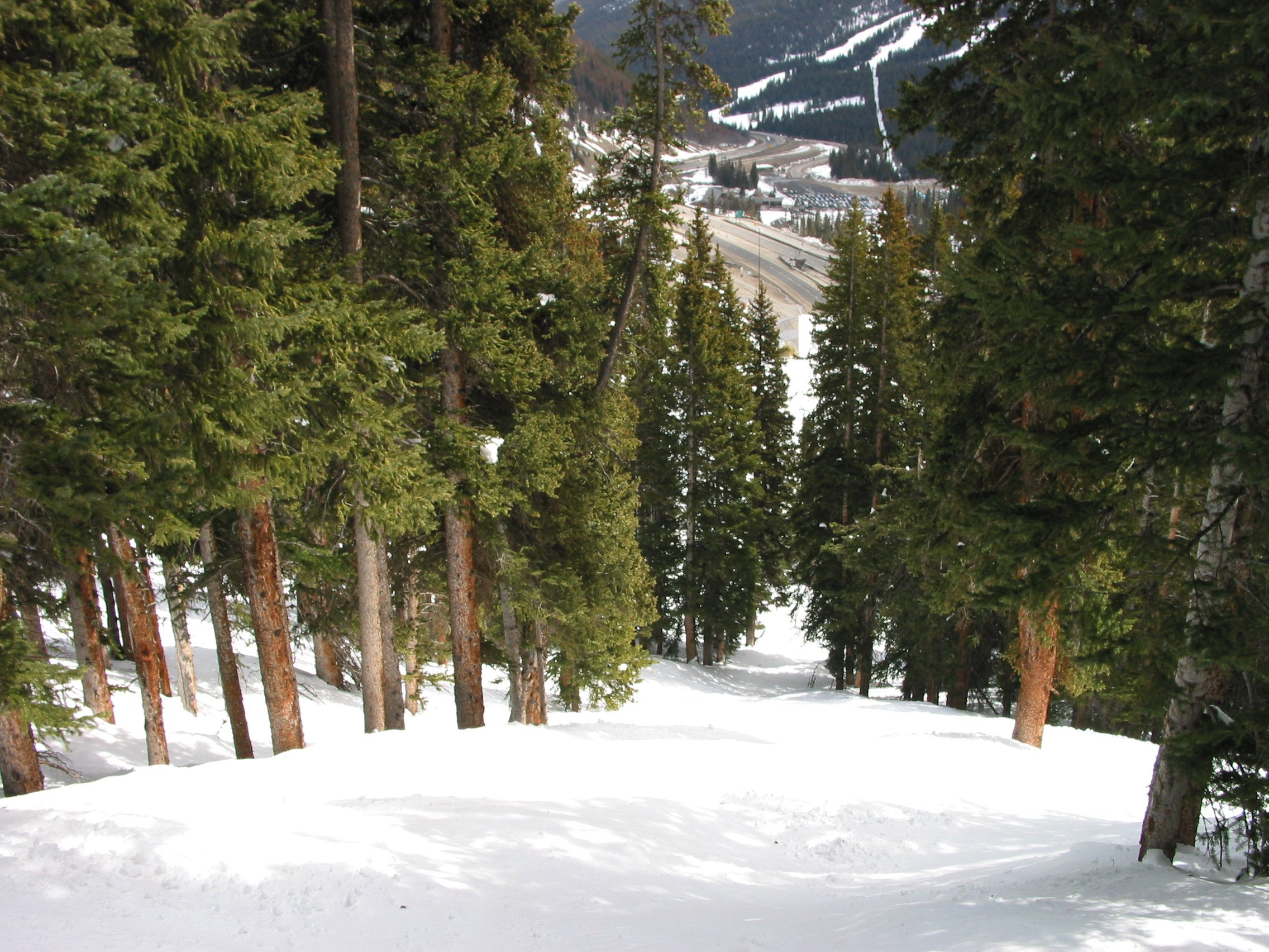 Scrub Trees at Loveland Basin