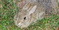 Rabbit in Karl Kelman's Backyard