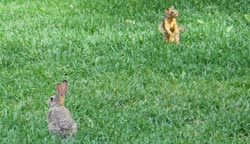 Rabbit versus Squirrel