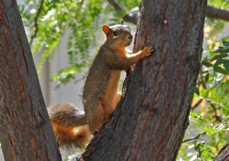 Alert Squirrel in Backyard Honey Locust Tree