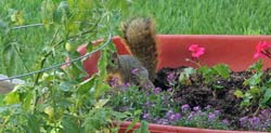 Squirrel in Flower Planter