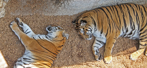 Two Sleeping Tigers